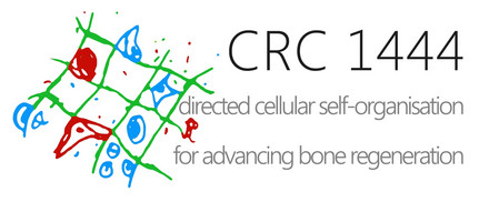 "logo of the CRC 1444 ""Directed Cellular Self-Organisation for Advancing Bone Regeneration"""